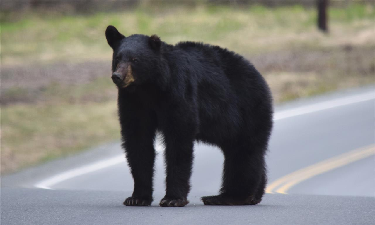 Black Bear. Arctic Valley Road, Anchorage, Alaska