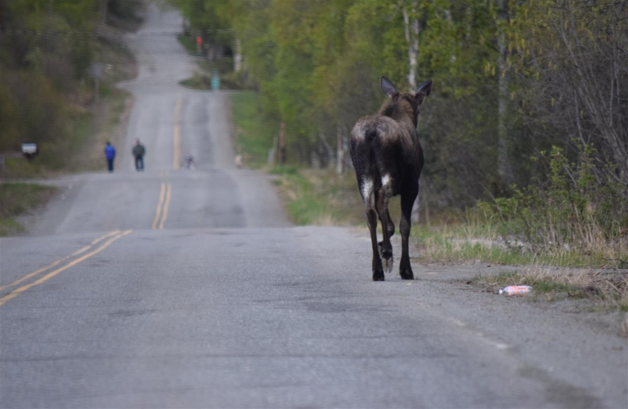 Just out for an evening stroll -- moose watch! Palmer, Alaska