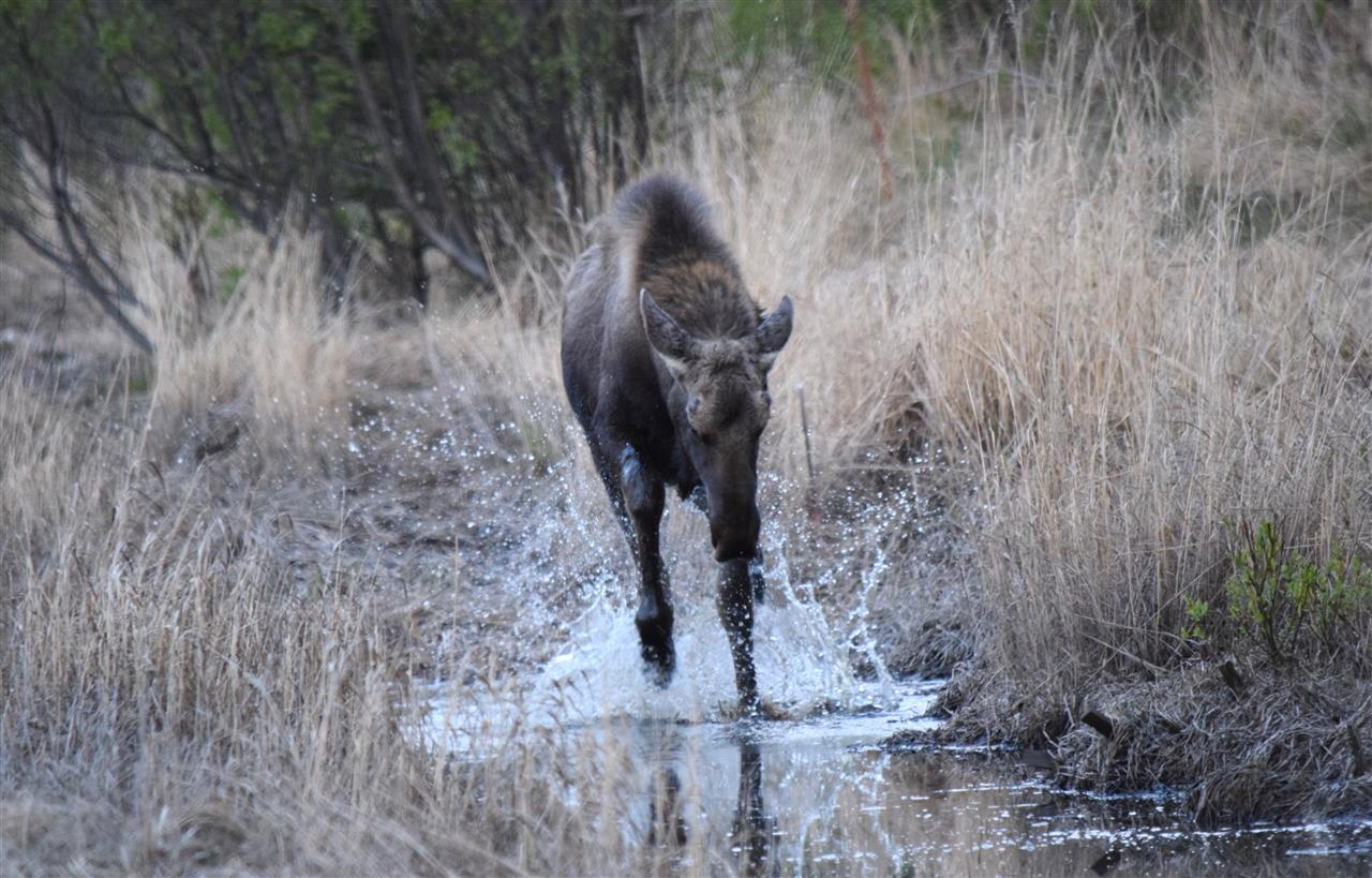 2 year old moose playing in a puddle in Palmer, Alaska