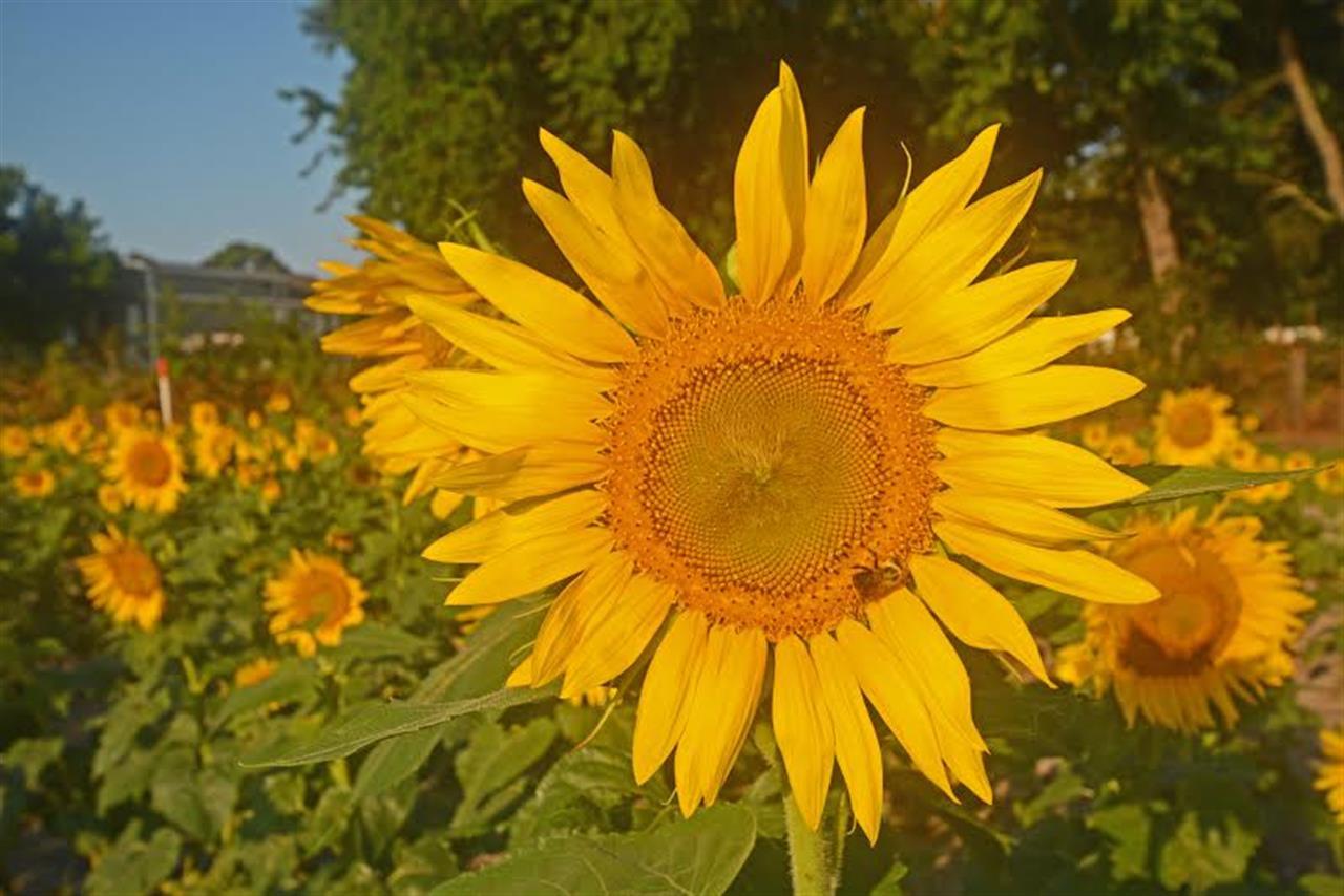 Sunflowers at the Emerald Isle Bridge