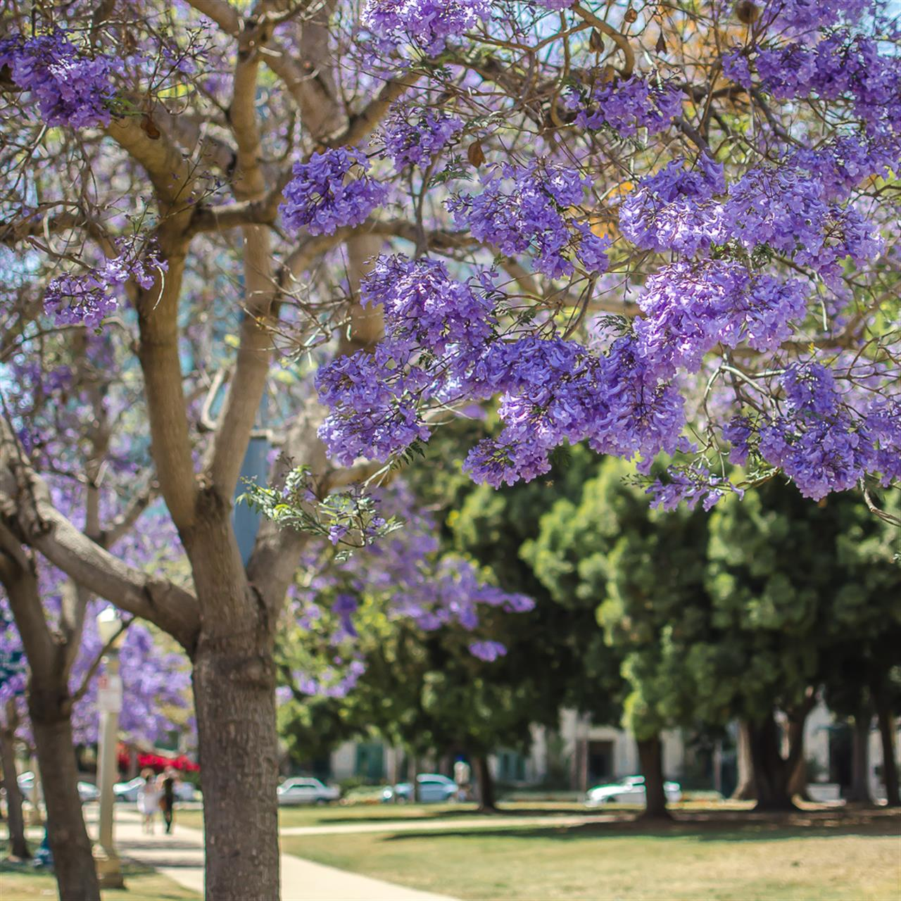 San Diego Jacaranda Trees aka the official tree of the city, in bloom in Balboa Park.