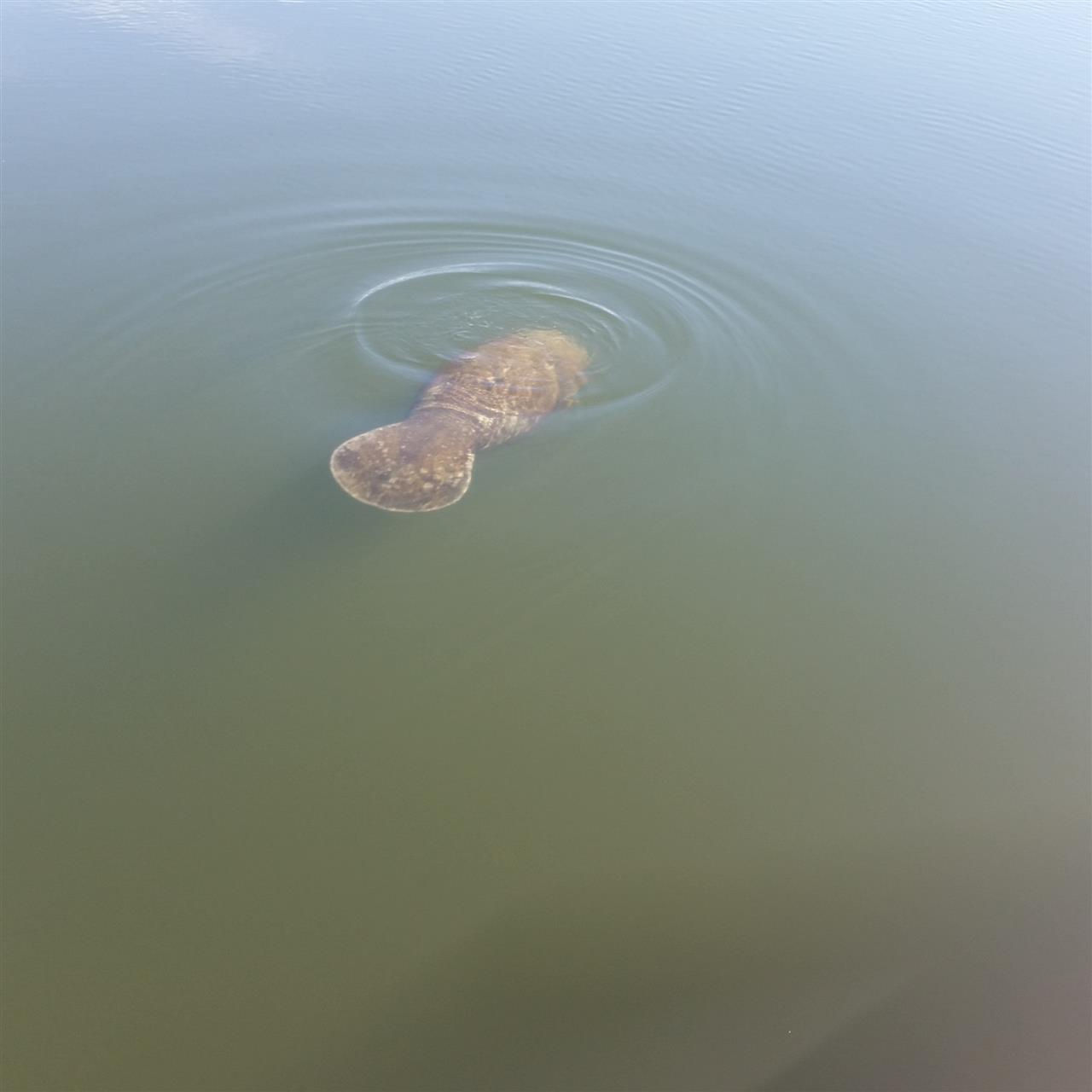 Baby manatee swimming in Apollo Beach Florida