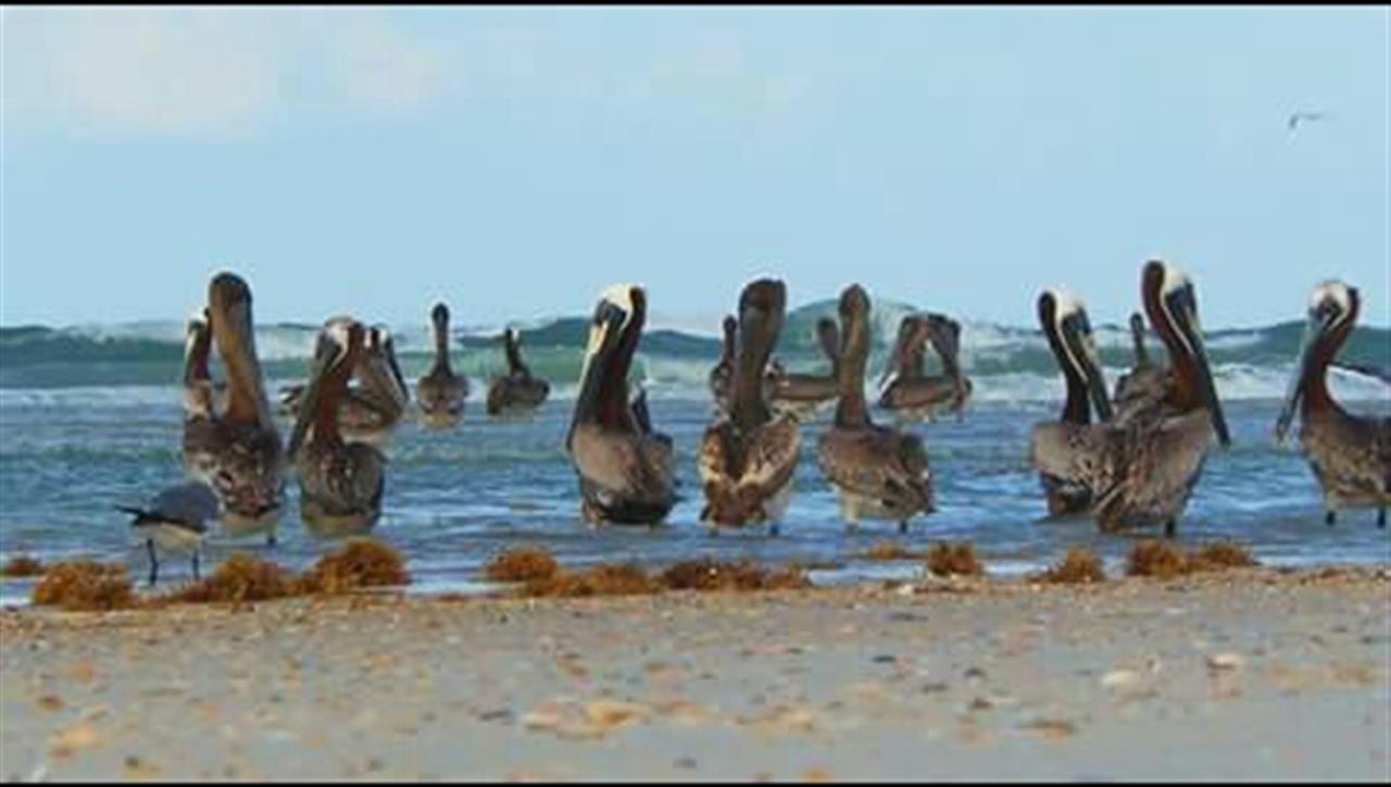Pelicans On The Beach, Myrtle Beach, SC