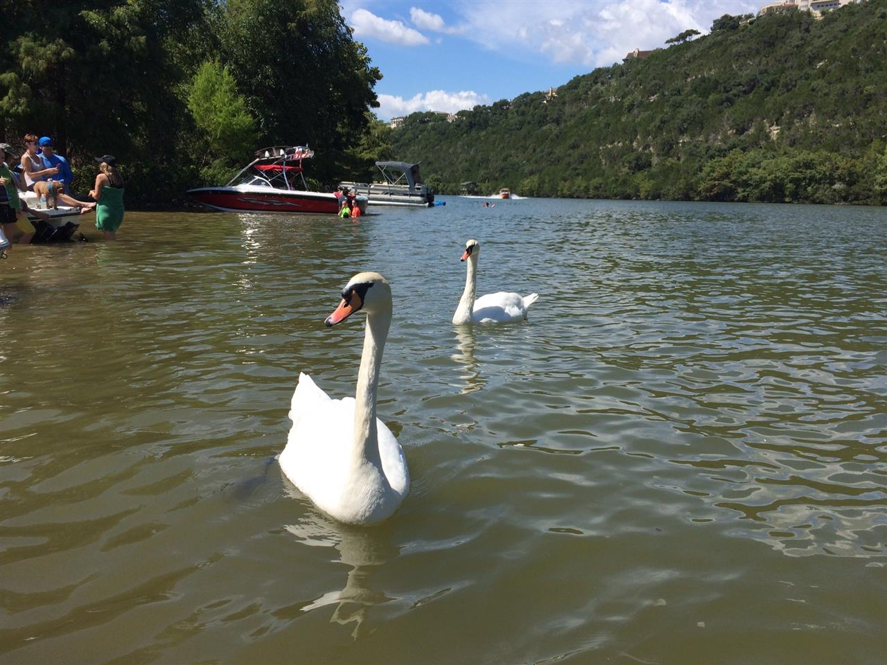 Friendly swans visiting boaters on Lake Austin