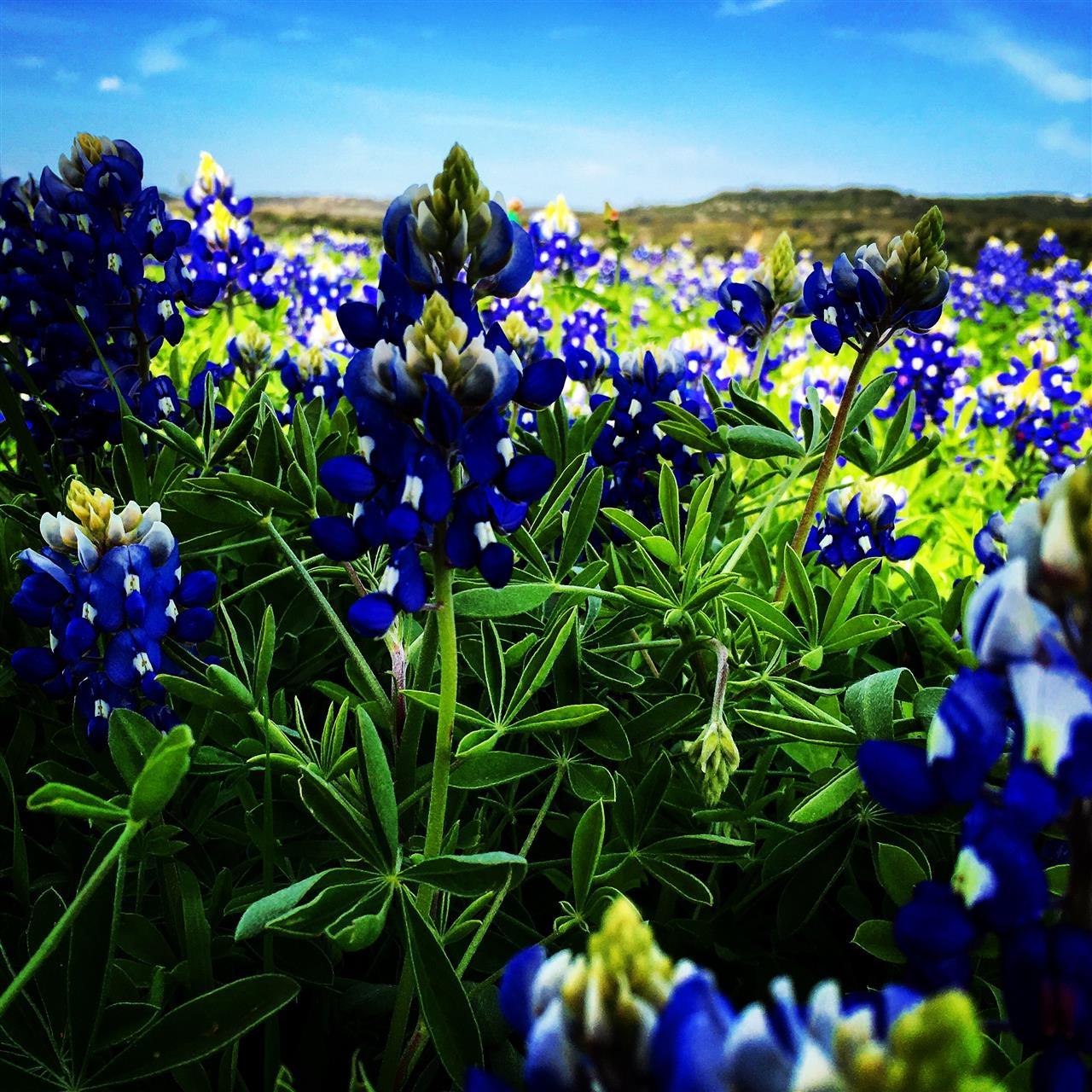 Texas Bluebonnets, Austin, TX