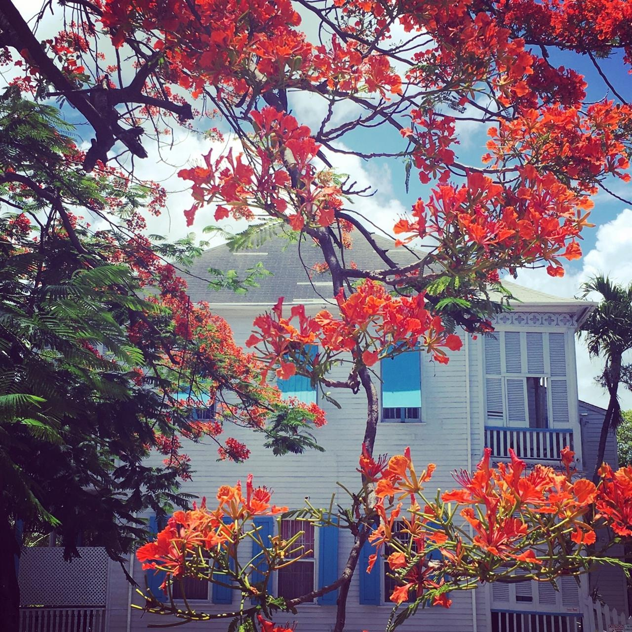 Poinciana in bloom, Nassau, Bahamas