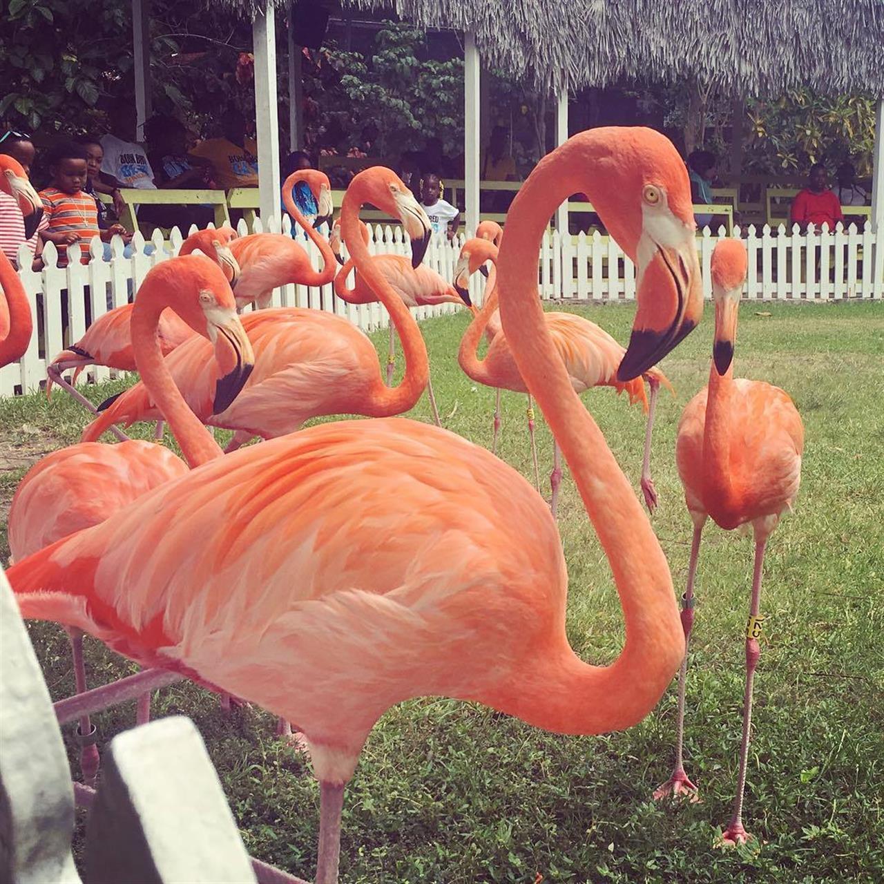 Bahamas National Bird, Nassau, Bahamas