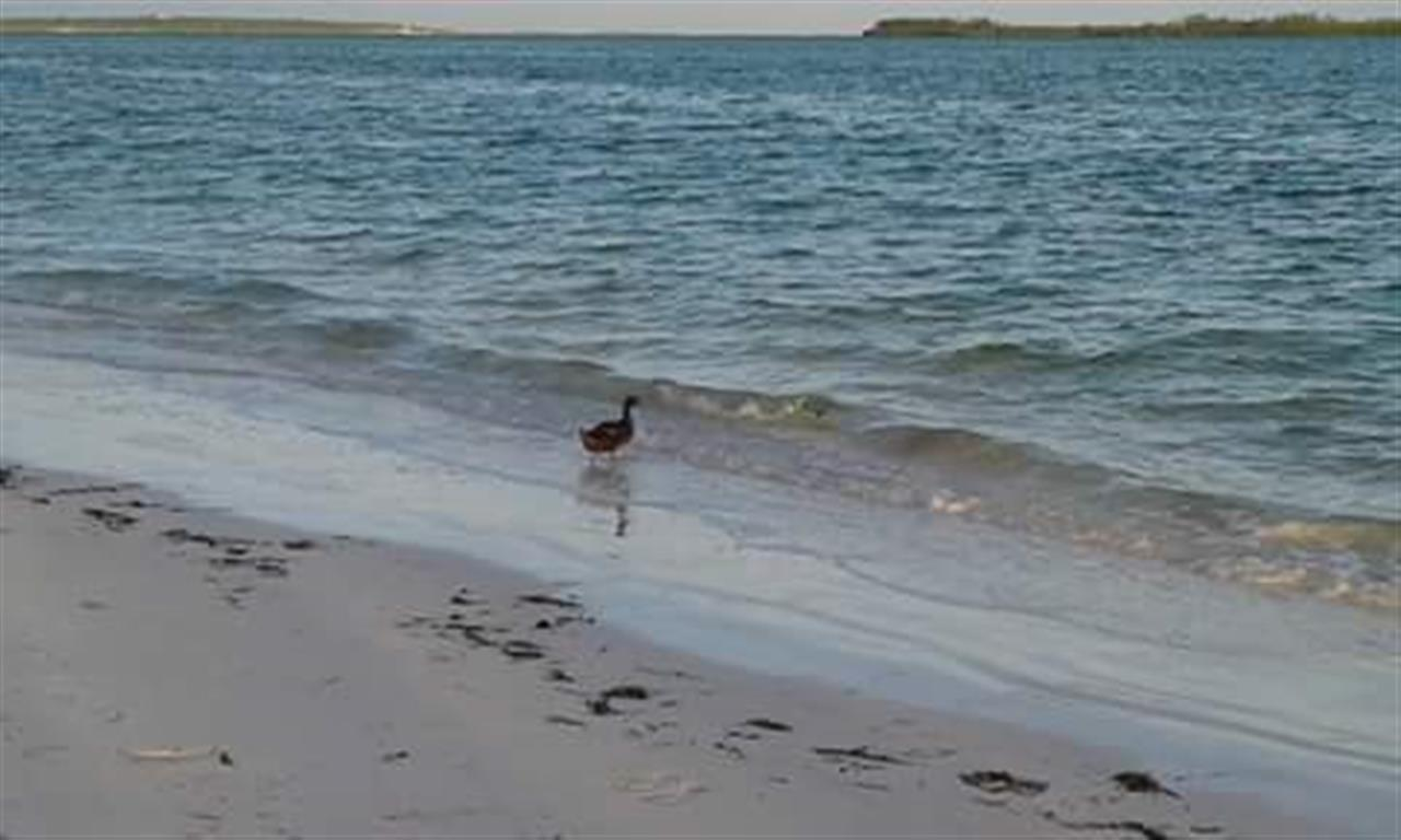 Our resident duck heading for his evening swim