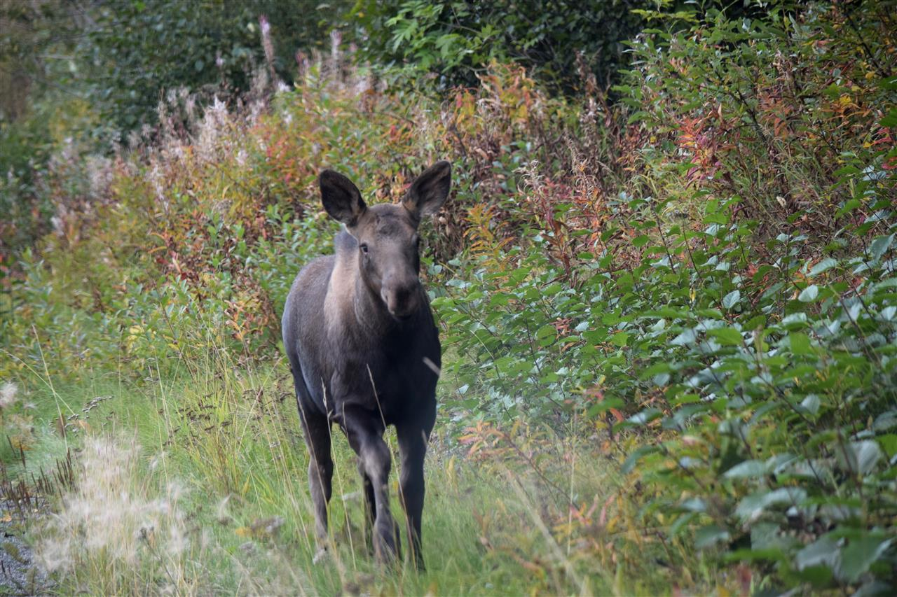 Yearling moose running to catch Mama Moose -- September 10, 2016. Eagle River, Alaska