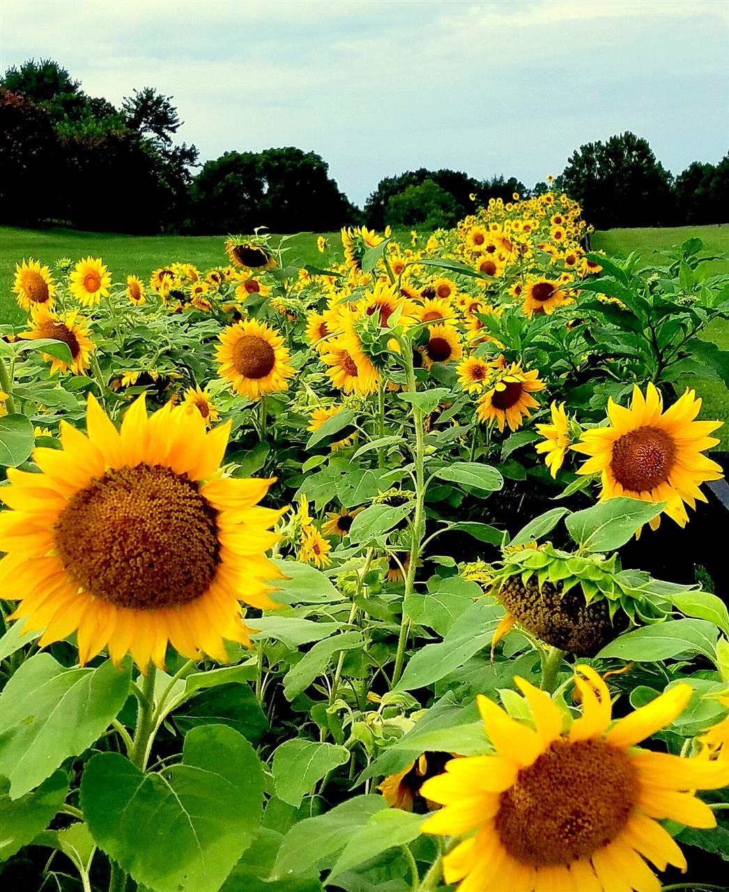 Franklin Sunflower field