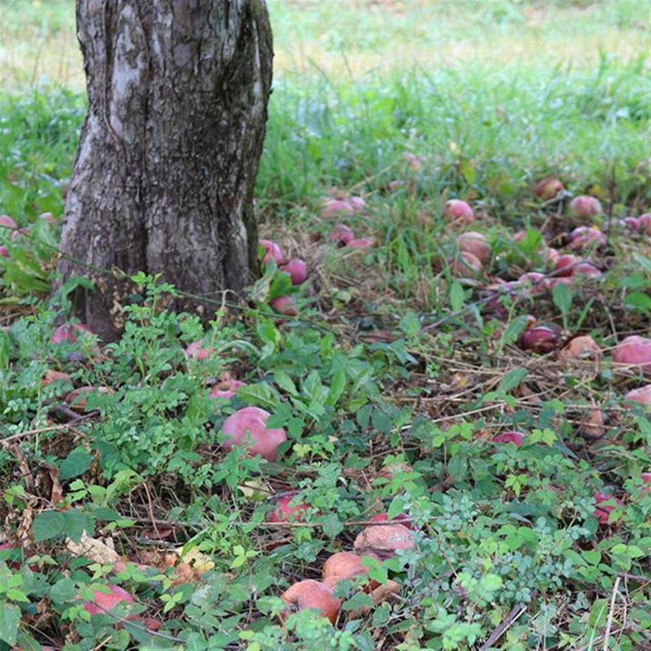 #stuartsapplefarm #apples #trees #applepicking #upstateny