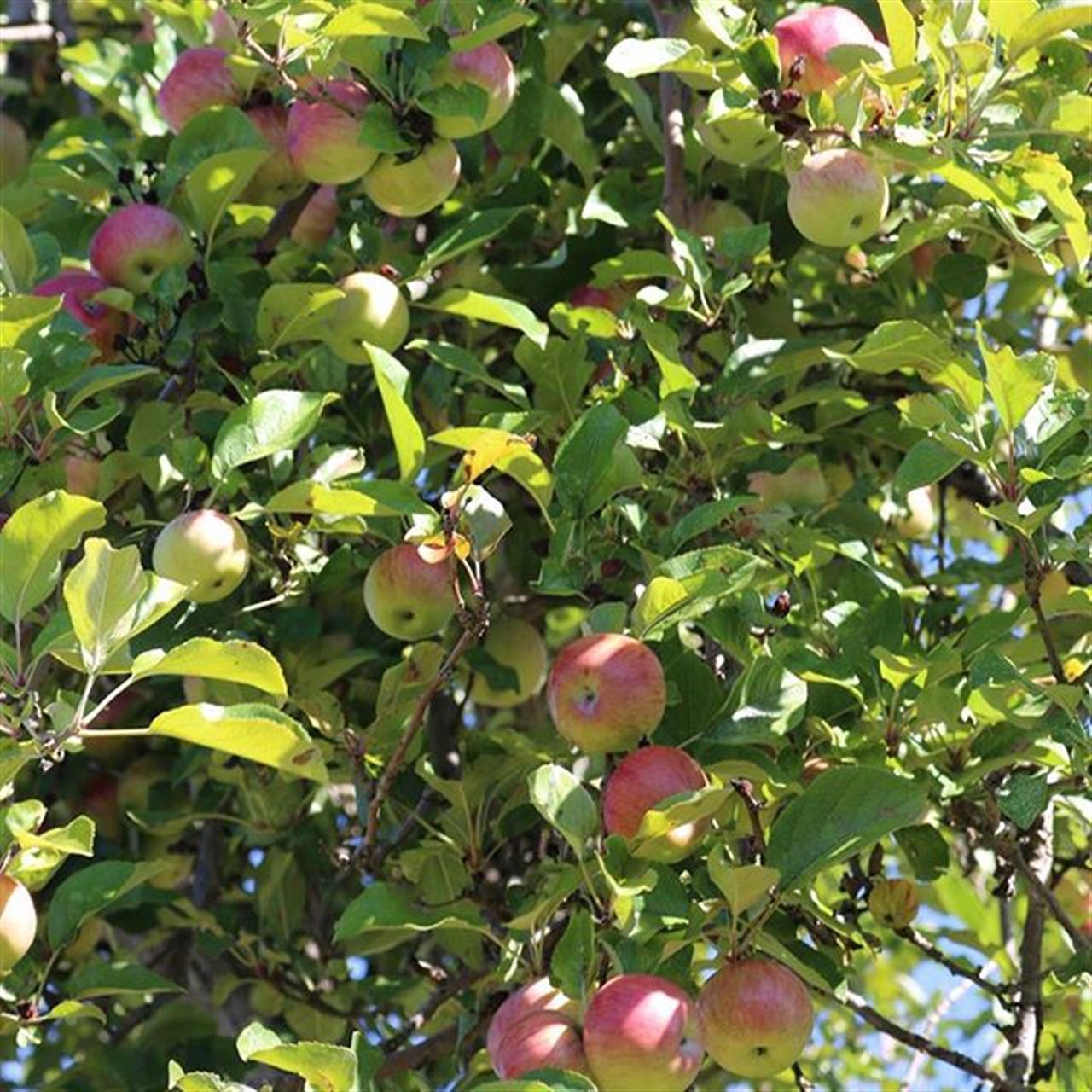 #stuartsapplefarm #appleorchard #autumn #apples #appletrees #trees #tree_magic #greenleaves #leaves #ExploreYourHood #LeadingRElocal #yourshot #itsamazingoutthere #upstateny #upick #itsthelittlethings