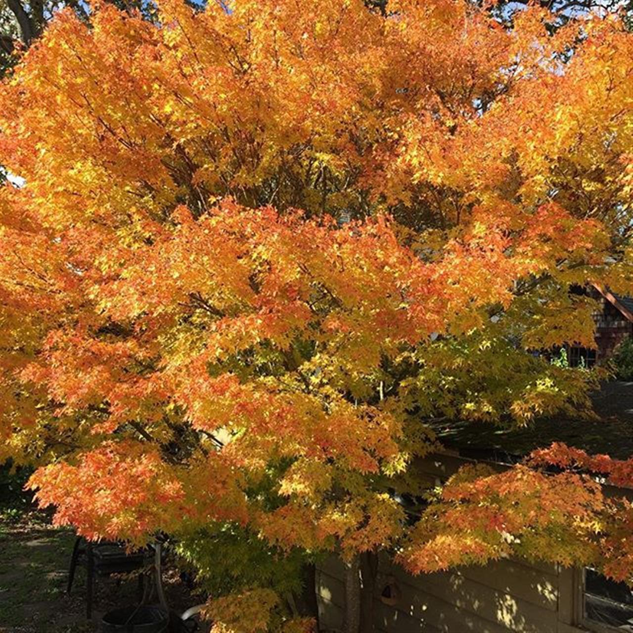 #nofilter #fall #oakbay #japanesemaple #leadingrelocal #realtorlife #realestate #realestateagent