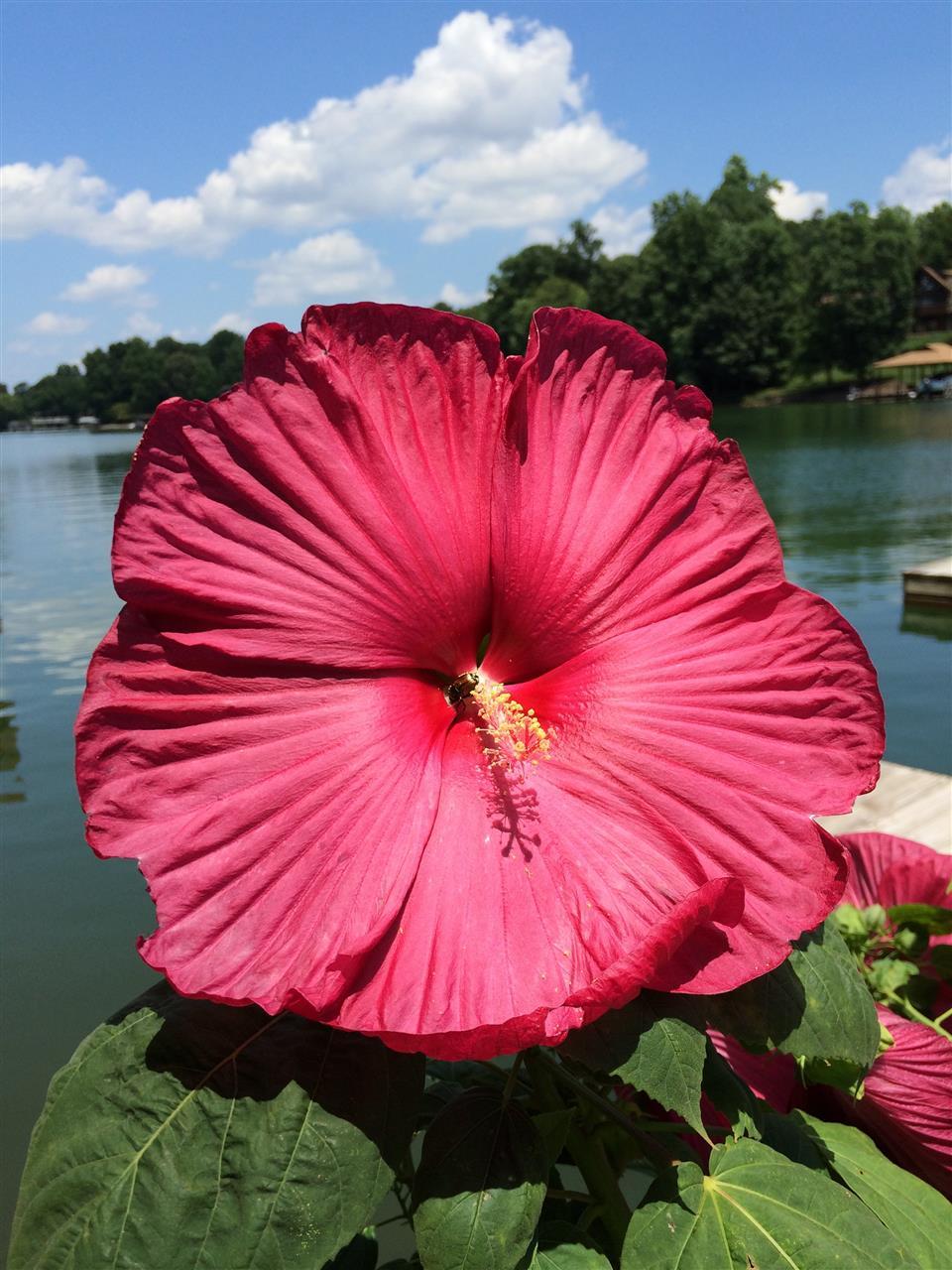 hibiscus on Smith Mountain Lake, VA