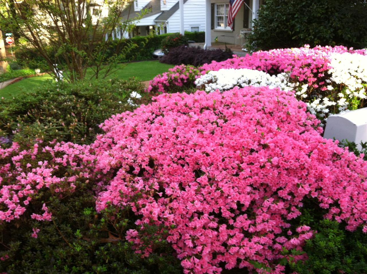 Fayetteville, North Carolina azaleas in the spring.  Submitted by Townsend Real Estate.