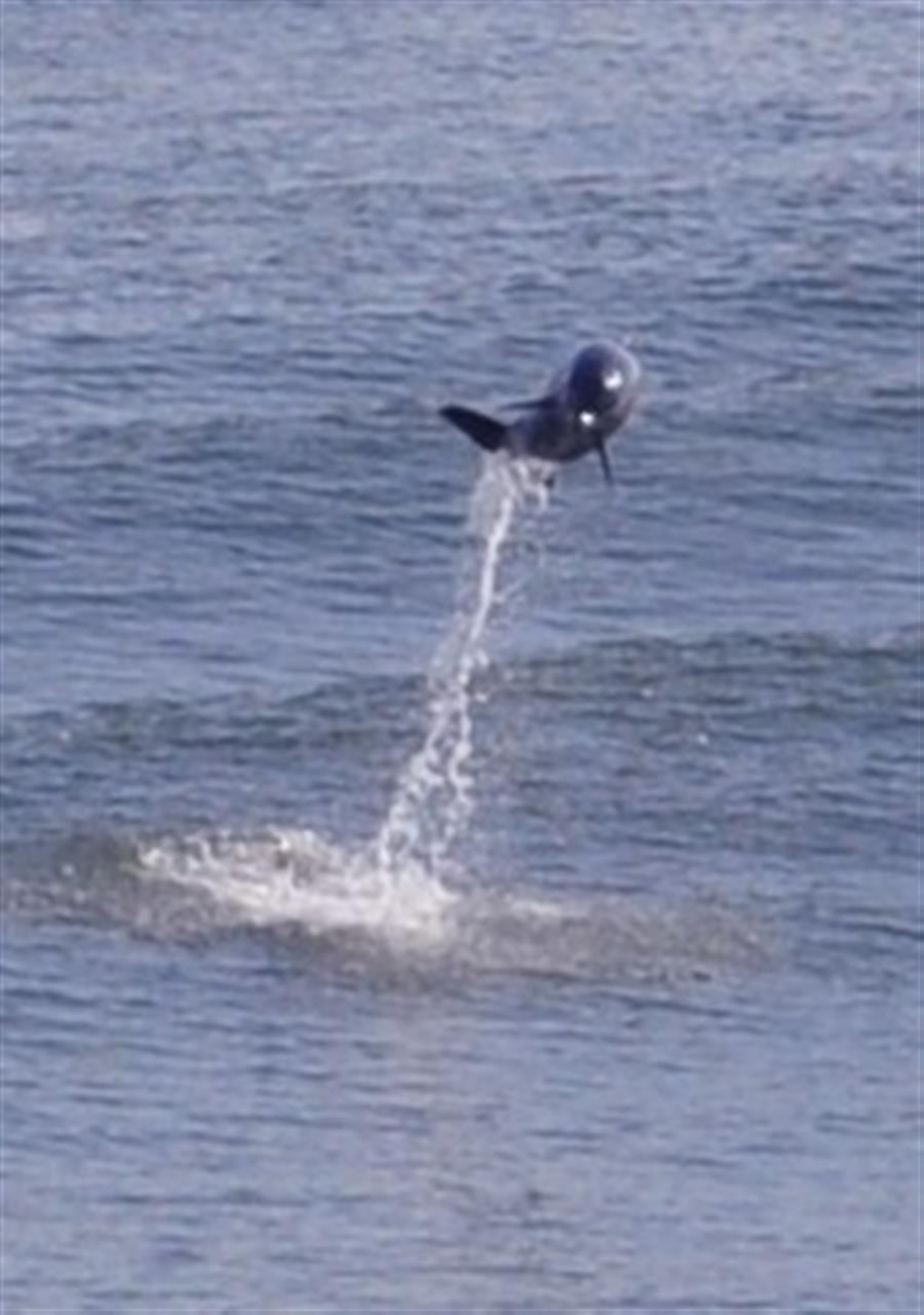 Dolphin playing in our wake (Tampa Bay)