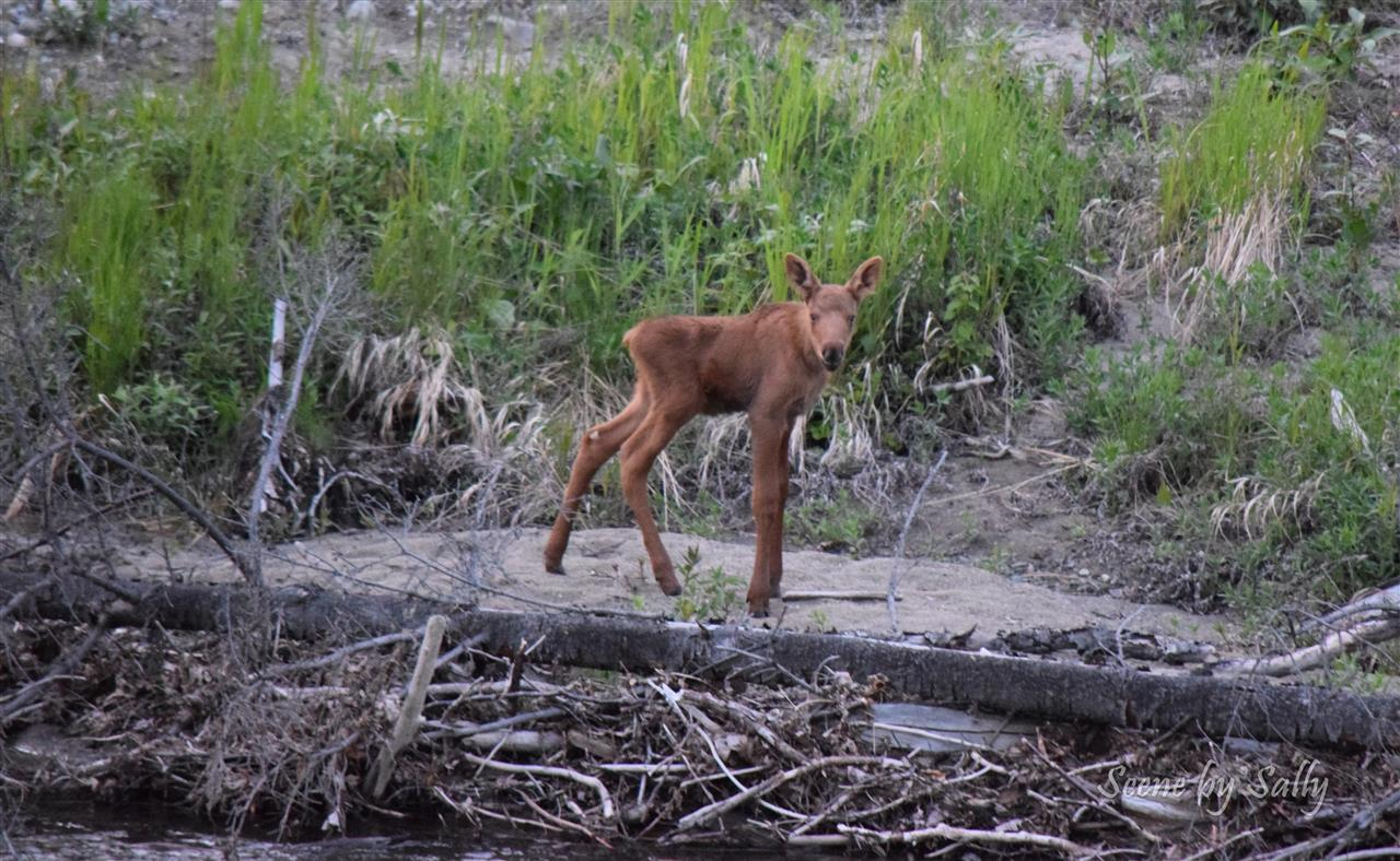 Baby moose, Palmer, Alaska
