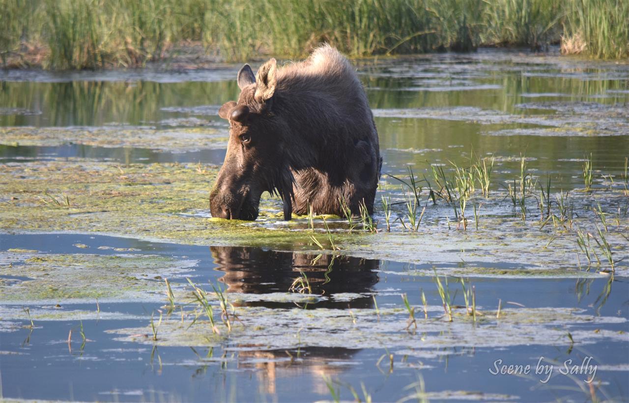 Moose cooling off in a nice marshy pond, Palmer, Alaska