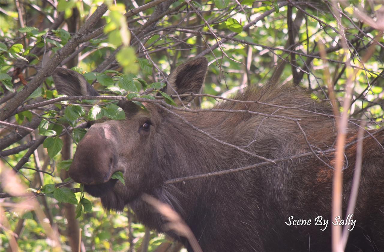 Moose, Palmer, Alaska
