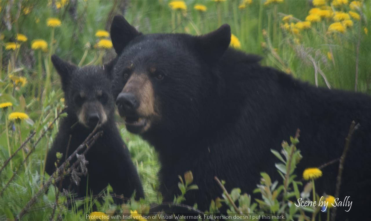 Mama Bear and cub, Spring 2017, Anchorage, Alaska