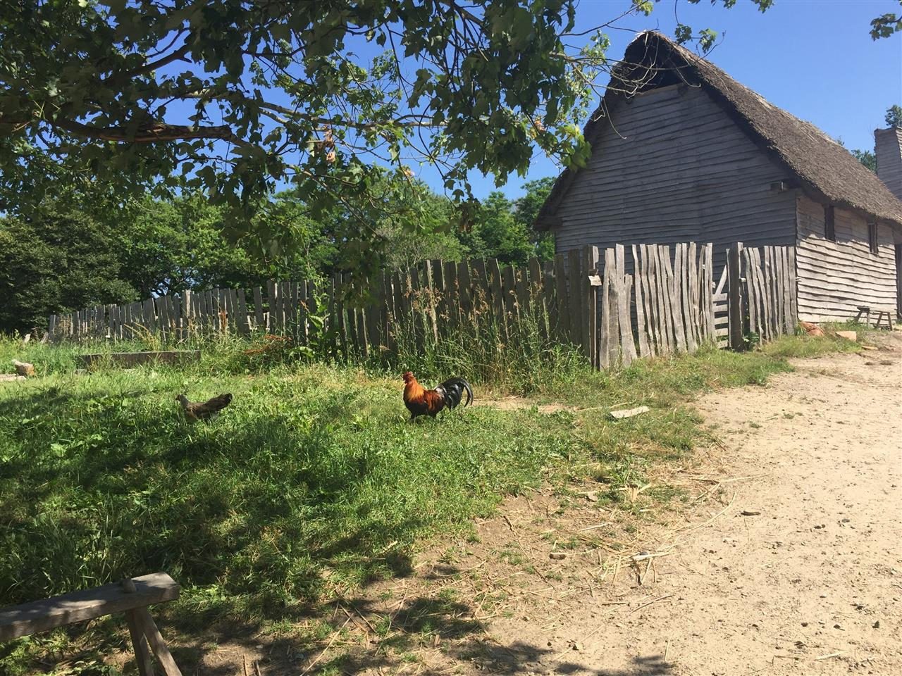 Rooster in Plimoth Plantation, Plymouth, MA