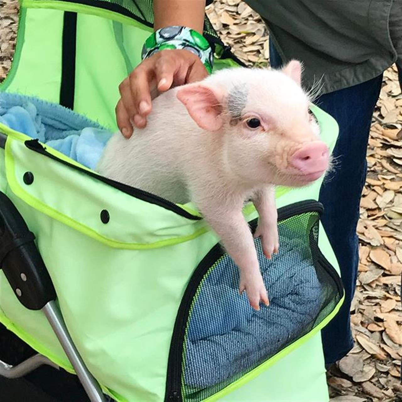 "This is our new best friend Hank. It's a mini pig's world, and we're all just living in it! <span class=""emoji-outer emoji-sizer""><span class=""emoji-inner"" style=""background: url(chrome-extension://immhpnclomdloikkpcefncmfgjbkojmh/emoji-data/sheet_apple_64.png);background-position:22.916666666666668% 64.58333333333334%;background-size:4900%"" data-codepoints=""1f437""></span></span> #OnlyInNola"
