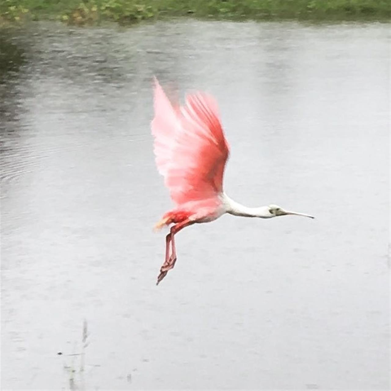 Roseate Spoonbill captured in flight in Manatee County Florida