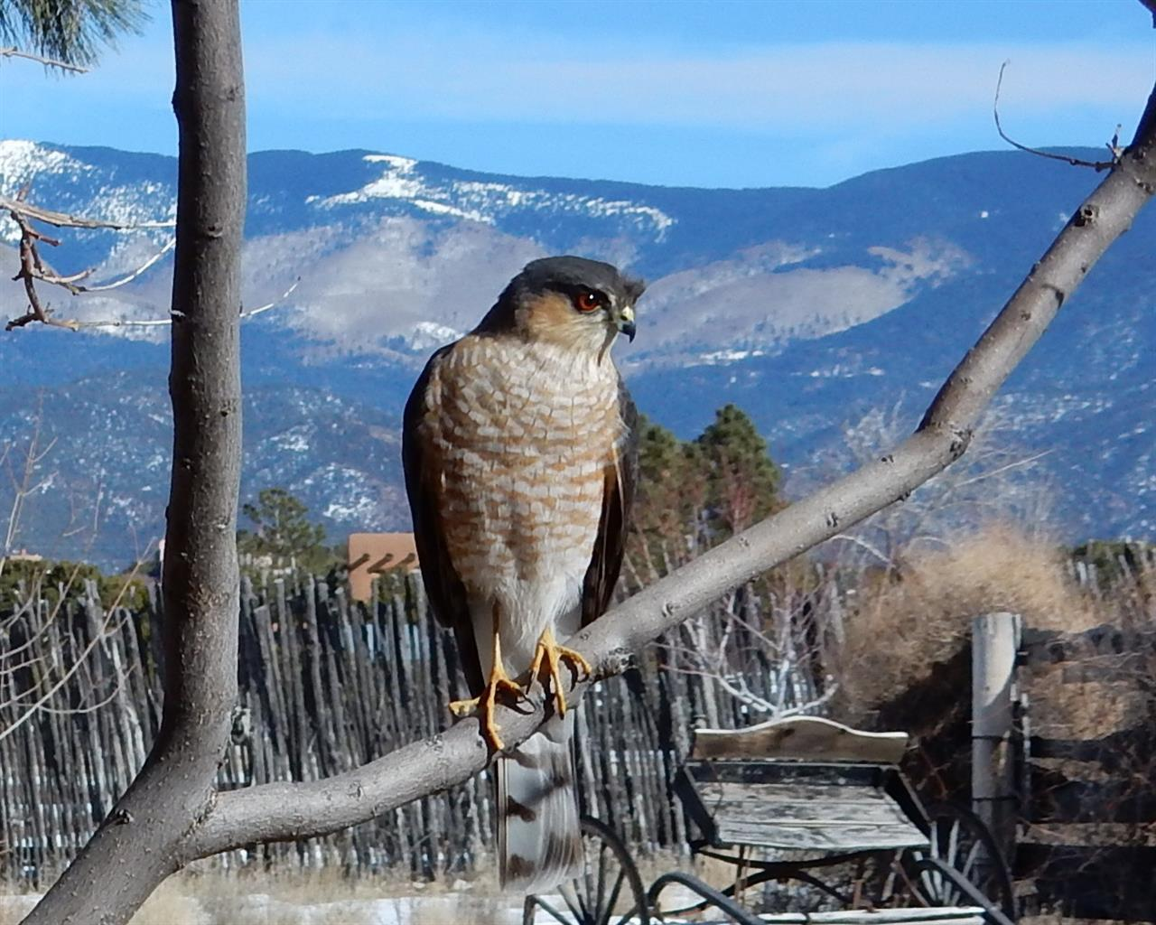 Sharp-shinned hawk with Sangre De Cristo mountain back drop.