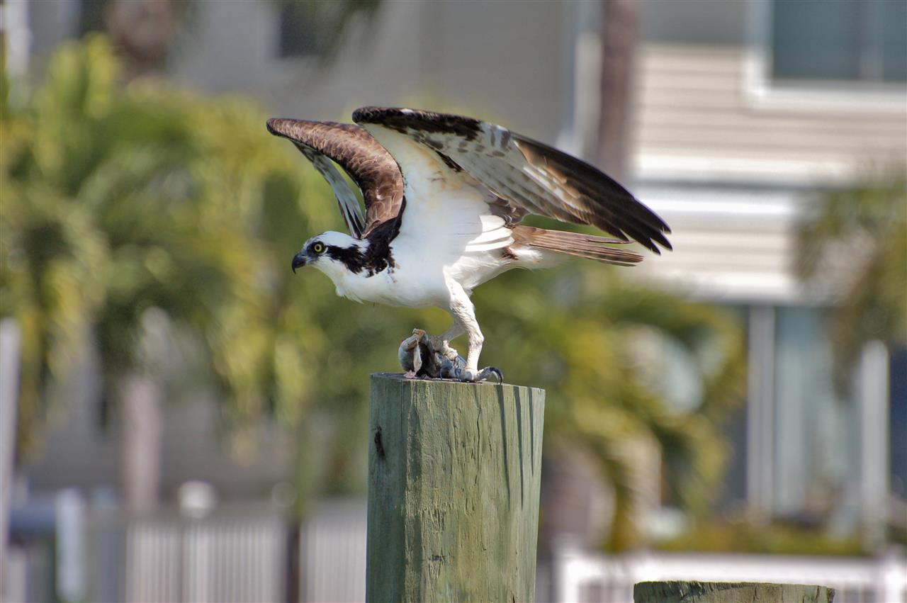 Victorious osprey preparing a meal on Tierra Verde, FL.
