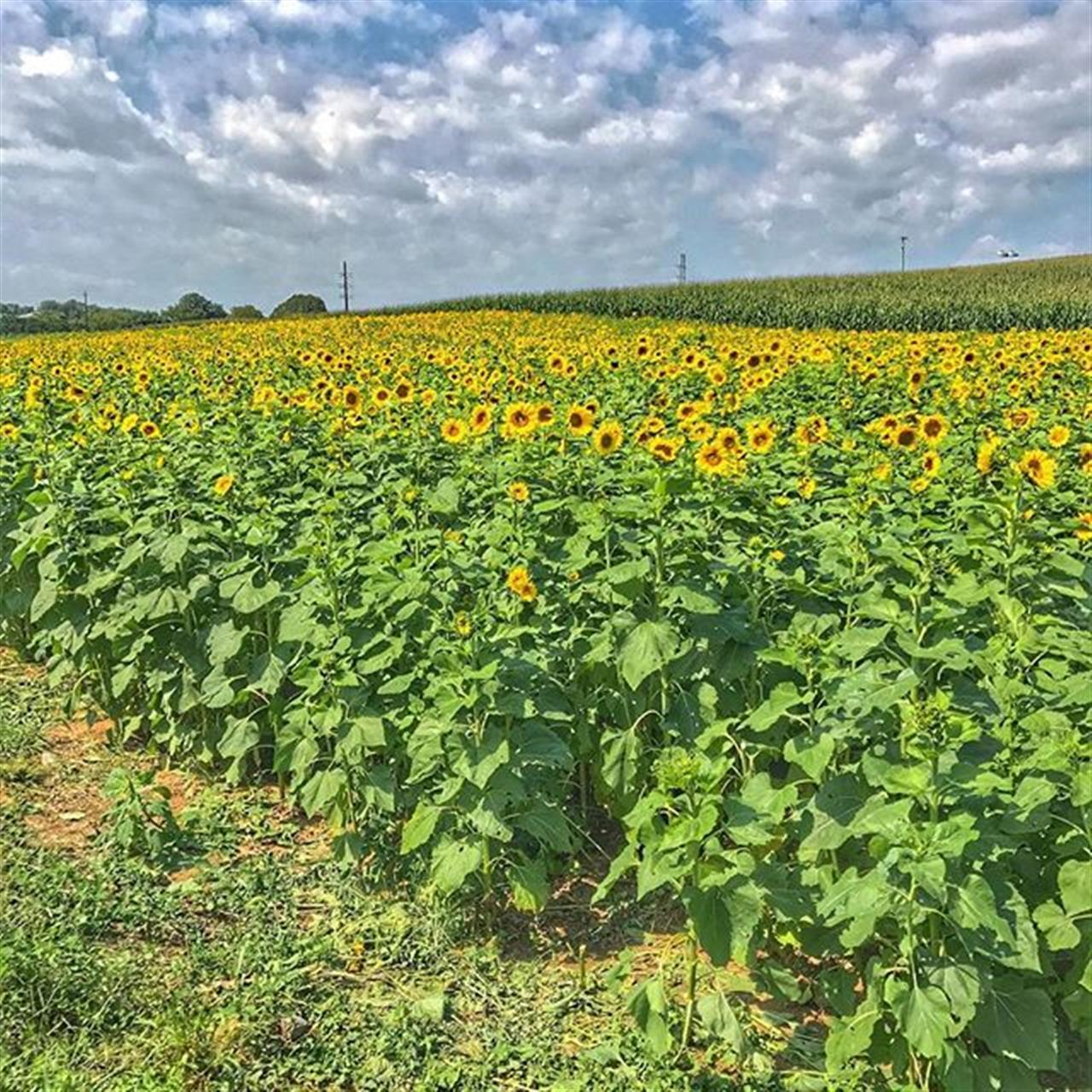 Sunshine and sunflowers! #sunflower #dayton #virginia #leadingrelocal