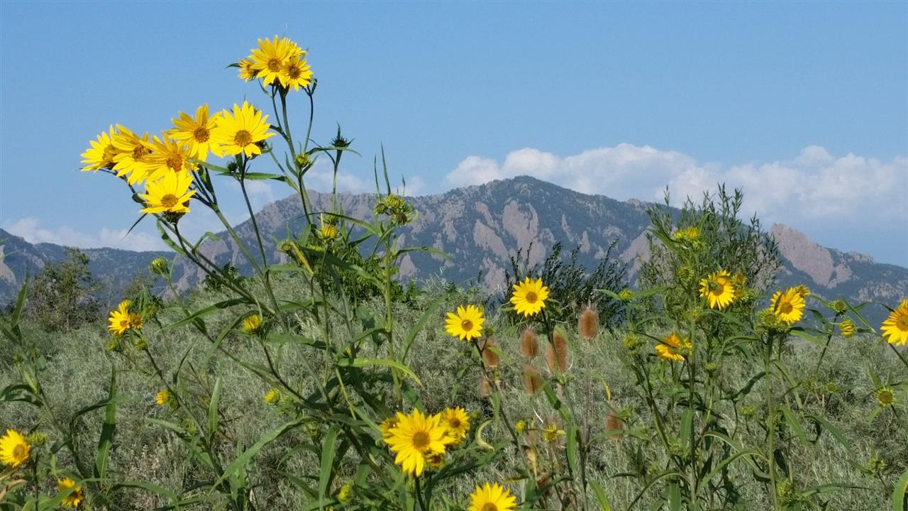Fall flowers with the Flatirons