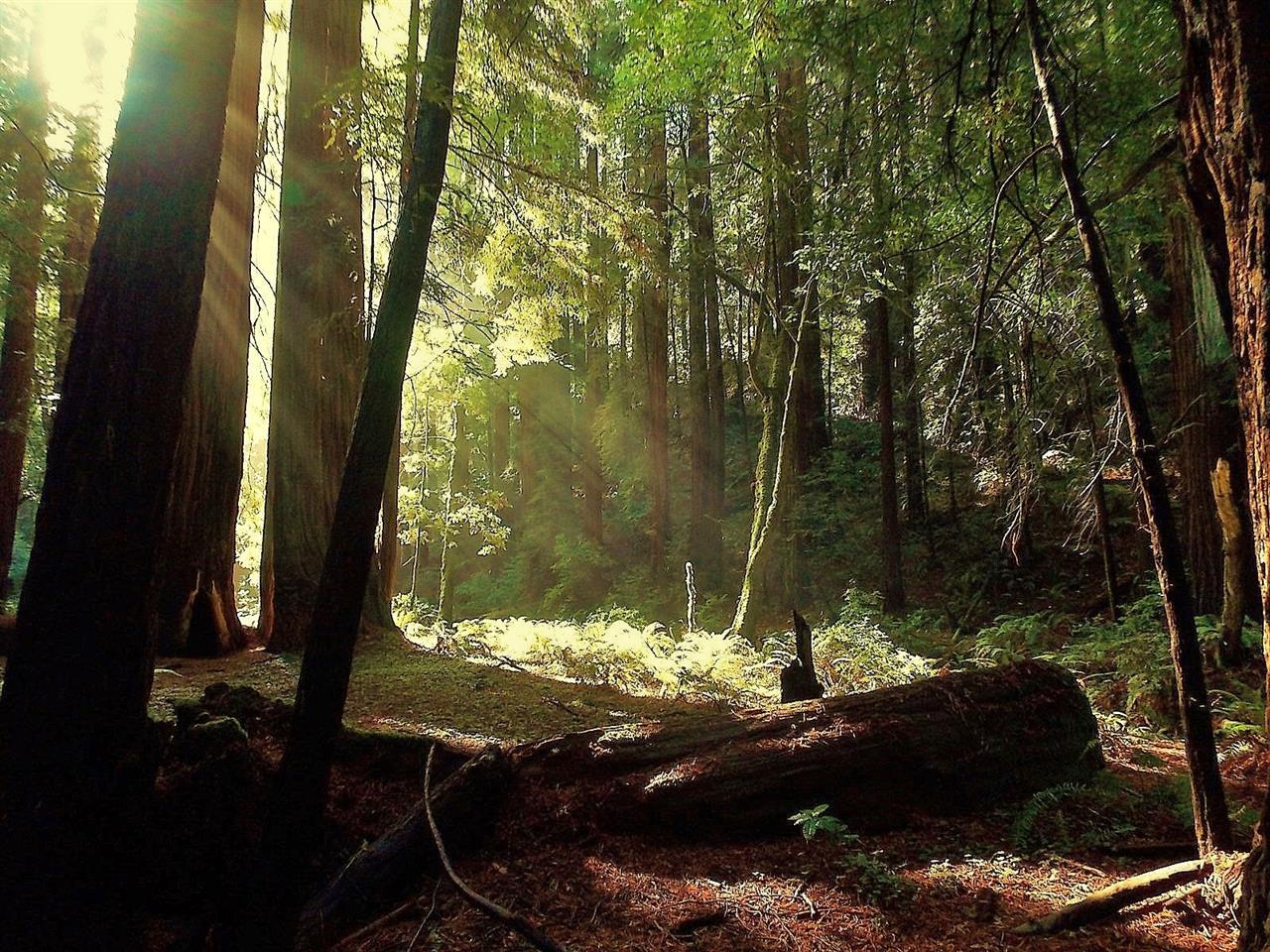Catching Rays, Muir Woods, CA