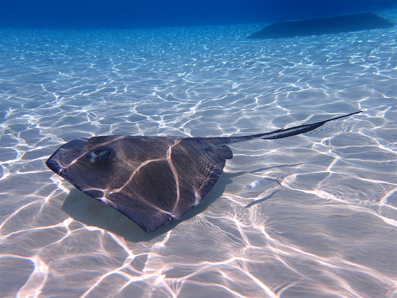 Stingray at Stingray City Sandbar