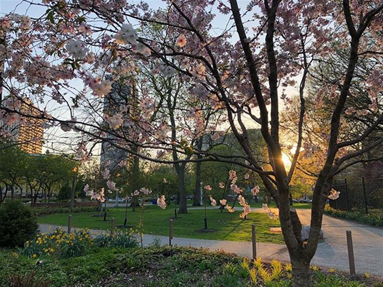 Simply stunning .. .. .. .. .. #chi #chicago #lincolnpark #bairdwarner #sunset #spring #flowers #blooming #walk #evening #eveningwalk #leadingrelocal #lincolnparkzoo #cherryblossom #illinois #commute #cafebrauer